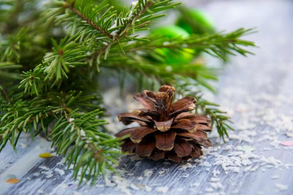 free stock photo of a tree branch with pinecone