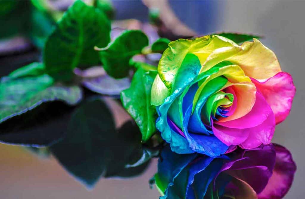 multicolored rose on a reflective background