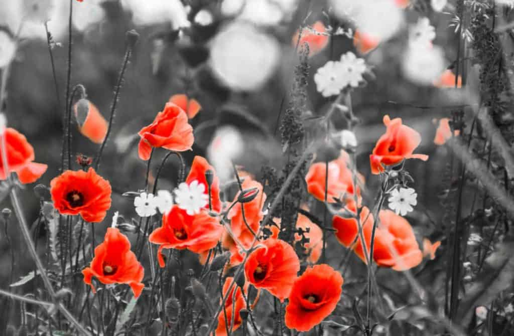 photo of red poppies with a greyed out background