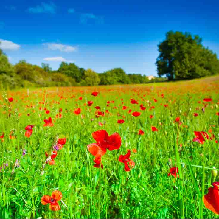 red poppies on a field of green grass