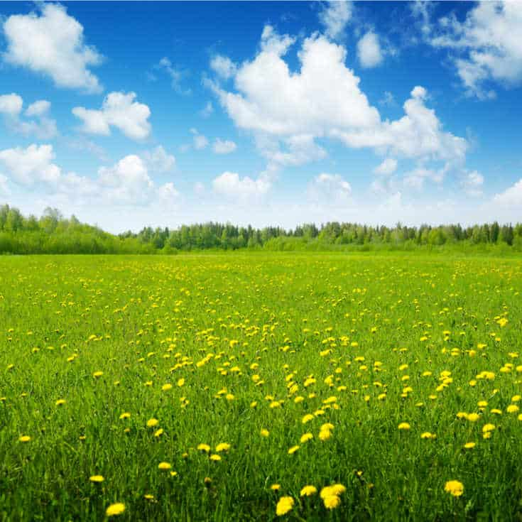 green field with yellow flowers against a blue sky