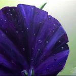 acrylic painting of a purple pansy with dew drops by TrembelingArt